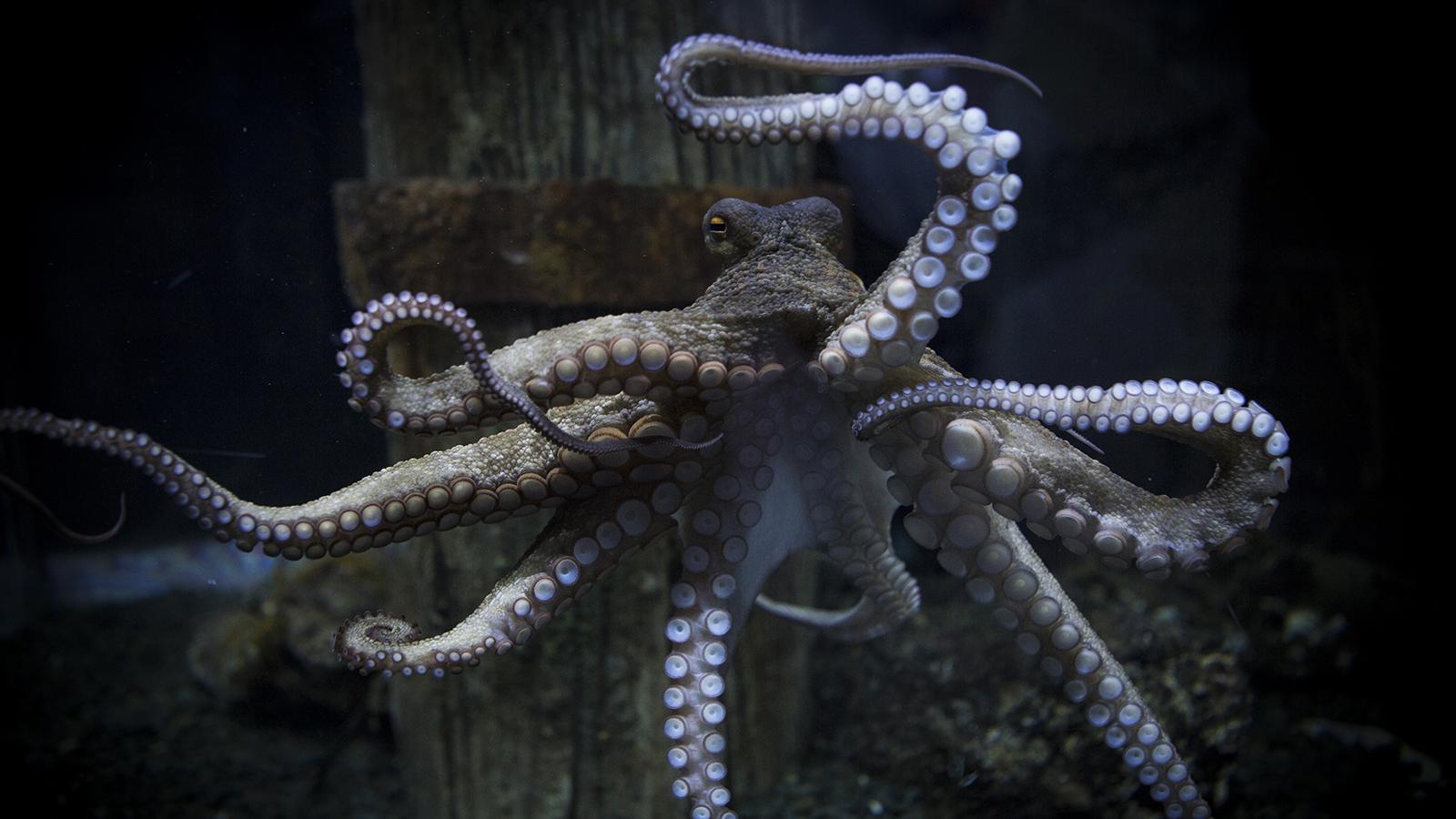 octopus-photos-rambo